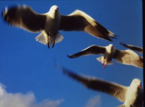A Hover of Gulls